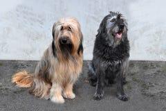 Två stora hundkapplöpning, en wäller och en byracka som framme sitter av en vägg arkivfoton