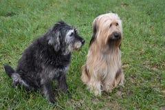 Två stora hundkapplöpning, en wäller och en byracka som sitter i ängen royaltyfri foto