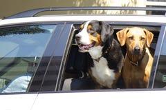 Två stora hundkapplöpning som lutar ut ur bilfönster royaltyfri fotografi