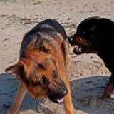 Två stora hundkapplöpning som slåss på stranden Royaltyfri Fotografi