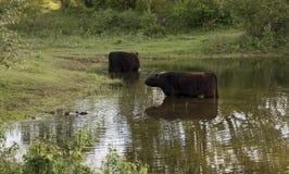 Två stora kröngalloway kor i vattnet Fotografering för Bildbyråer