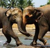 Två stora lösa indiska elefanter tillsammans en till en Arkivbild