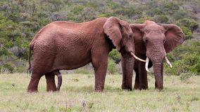 Två stora manliga afrikanska elefanter arkivfilmer