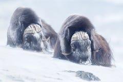 Två stora myskoxar för vuxen man i bergen under tuff kall vinter betingar Arkivbilder