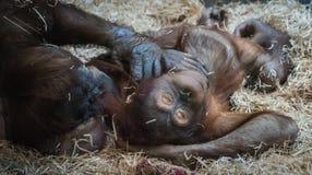 Två stora orangutang som ligger på hö Royaltyfri Foto