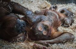 Två stora orangutang som ligger på hö Arkivfoto