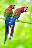 Två stora papegojor Fotografering för Bildbyråer