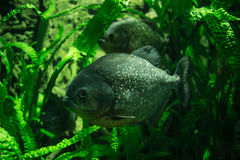 Undervattens- Piranha royaltyfri bild