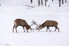 Två stora röda hjortar i en kamp Arkivbilder