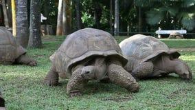 Två stora Seychellerna sköldpaddor parkerar in mauritius arkivfilmer