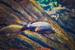 Två stora stora röda gula tropiska fiskar i blått vatten, färgrik undervattens- värld Arkivfoton