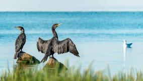 Två stora svarta fågelkormoran sitter och att fördela vingar, vaggar på på vattnet på en solig sommardag Ukraina Kakhovka Royaltyfri Bild