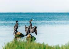 Två stora svarta fågelkormoran sitter och att fördela vingar, vaggar på på vattnet på en solig sommardag Ukraina Kakhovka Royaltyfria Bilder