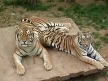 Två stora tigrar är stirriga på mig randig rovdjur royaltyfria foton