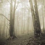 Två stora träd och dimmig skog Arkivbilder