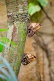Två stora ugglafjärilar Royaltyfri Bild