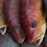 Två stora våg för röd färg för havsfisk, fena är guling, och blått, runda synar, marknadsplatsfiskare, Indien Royaltyfri Bild