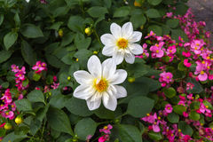 Två stora vita blommor och några rosa blommor Royaltyfria Foton