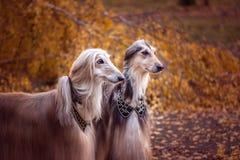 Två storartade afghanska hundar arkivbilder