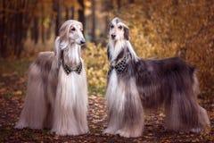 Två storartade afghanska hundar som är liknande till medeltida royaltyfria bilder
