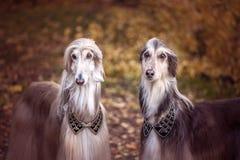 Två storartade afghanska hundar som är liknande till medeltida royaltyfria foton
