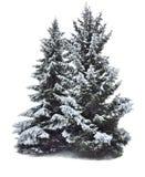 Två storartade snö-täckte gran-träd som isoleras på vit Arkivfoton