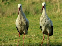 Två storkar som står i Vondelparken Arkivfoto