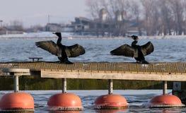 Två storslagna kormoran sitter i solen på en ponton Royaltyfri Bild