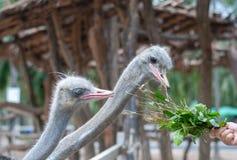 Två strutsar pickar den gröna växten, dess matning, från den turist- handen i zoo fotografering för bildbyråer