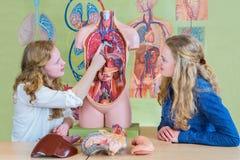 Två studenter som lär modellmänniskokroppen i biologi royaltyfri bild