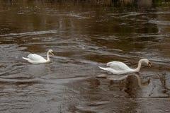 Tv? stumma svanar som simmar upp en brun flod royaltyfria foton