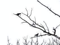 Två svärtar bevingade galanden sitter på kala filialer av träd på en vit bakgrund Arkivbild