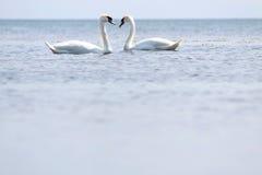 Två svanar royaltyfria bilder