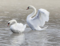 Två svanar arkivbild