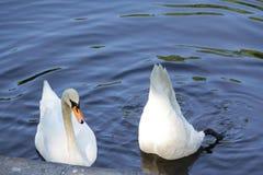 Två svanar, en fällde ned hans huvud djupt in i vattnet arkivbilder