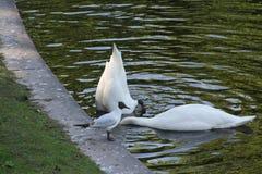 Två svanar, en fällde ned hans huvud djupt in i vattnet arkivbild