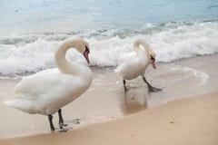 Två svanar för vitt hav royaltyfri foto