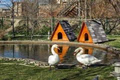 Två svanar går vid dammet i parkerar royaltyfria foton
