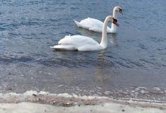 Två svanar, hav, blått, vit, vattenfågel, fåglar royaltyfria bilder