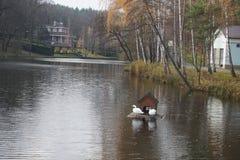 Två svanar i dammet royaltyfria bilder