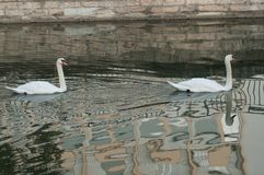 Två svanar i floden vid höst fotografering för bildbyråer