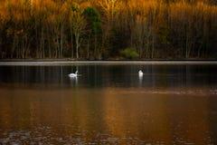 Två svanar i sjön royaltyfri foto