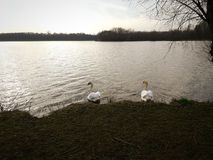 Två svanar i vattnet royaltyfria foton