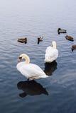 Två svanar och änder på dammet Arkivfoton