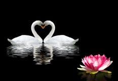 två svanar och en lotusblommablomma på vattnet fotografering för bildbyråer