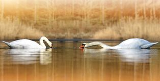 Två svanar på dammet arkivbilder