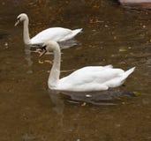 Två svanar på dammet royaltyfri foto