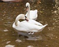 Två svanar på dammet arkivfoton