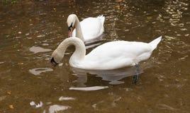 Två svanar på dammet royaltyfria bilder