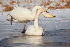 Två svanar på den djupfrysta sjön Royaltyfri Bild